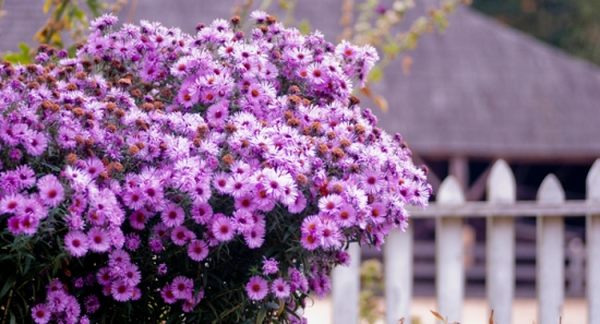 purple mums in garden