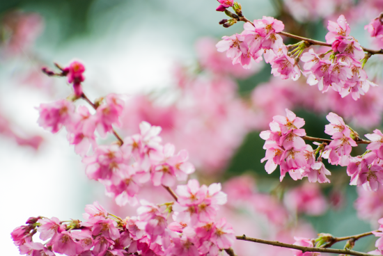 BLOSSOMS_1