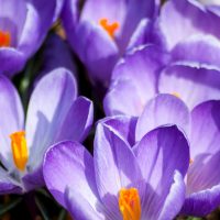 crocus love...